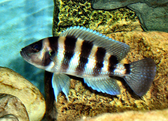 Lake tanganyika cichlids neolamprologus sexfasciatus for Lake tanganyika fish