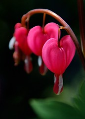 Bleeding Hearts | by cheesekid