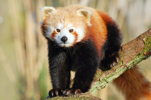 Red Panda | by Today is a good day