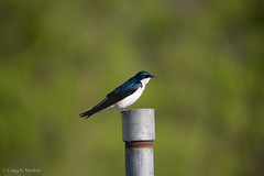 Tree Swallow.jpg | by CKM_Photography