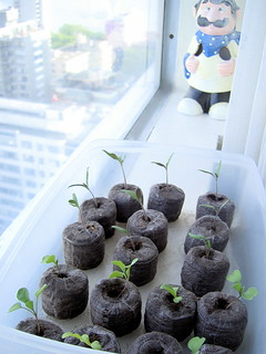 Tomato and lettuce seedlings | by Chilco
