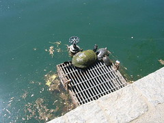 More turtles! | by scriptingnews