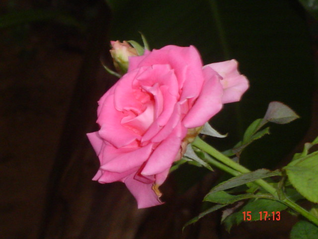 beautiful pink rose  it's a very beautiful and attracted pi…  flickr, Beautiful flower