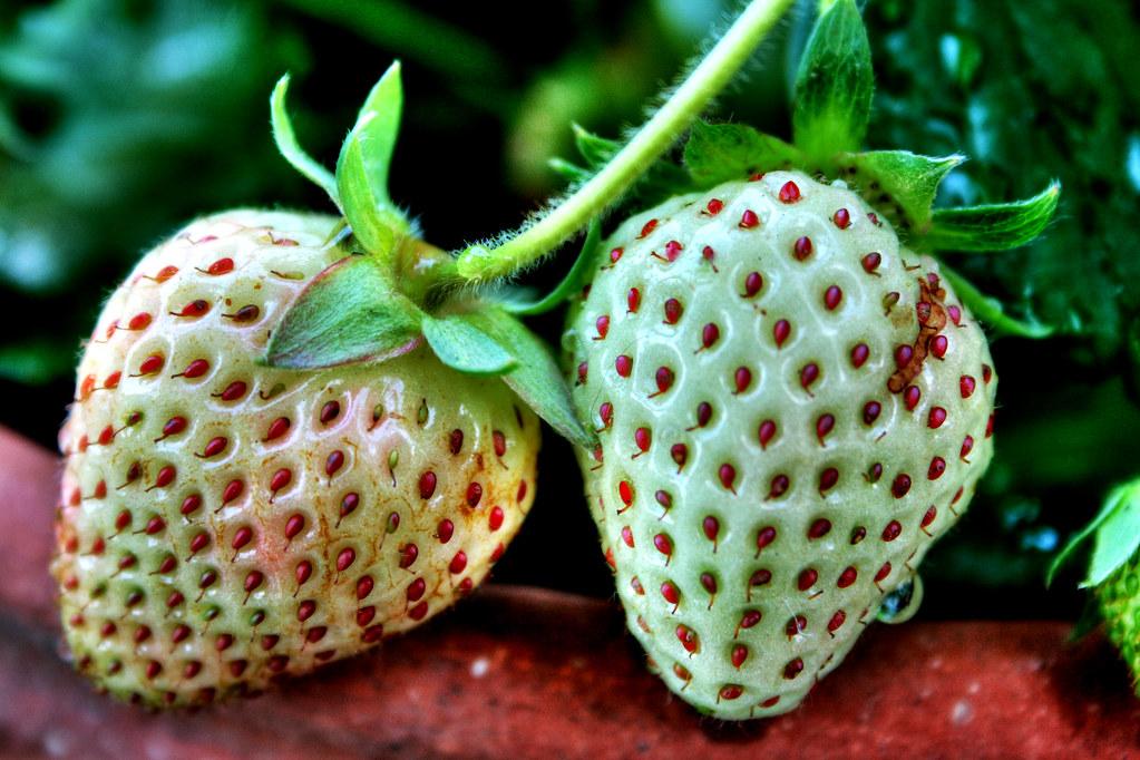 Unripe Strawberries Nature: Unripe ...