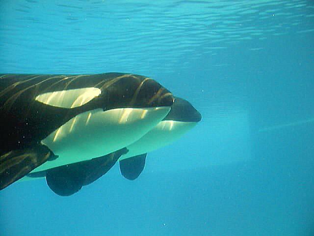 Niagara falls 2_0099 | An underwater view of orcas at ...