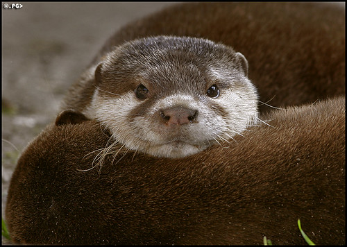 Small-Clawed Otter (Aonyx Cinerea) | by Edgar Thissen
