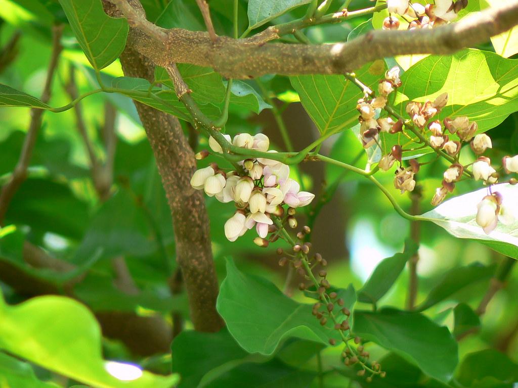 indian beech tree
