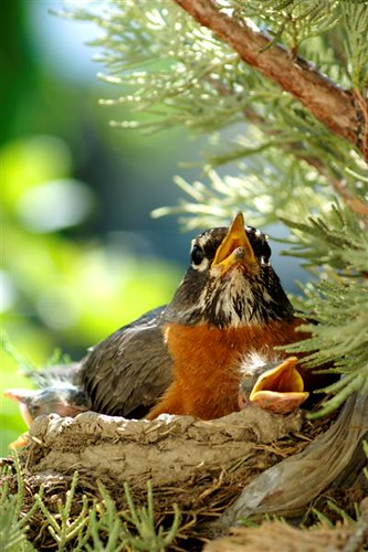 Baby Robins 2 | by littlebiddle