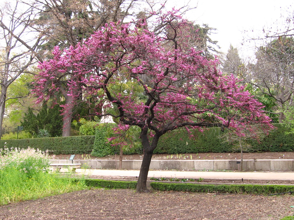 El rbol del amor jard n bot nico de madrid paseando for Arboles de flores para jardin