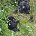 Susa group, mountain gorillas
