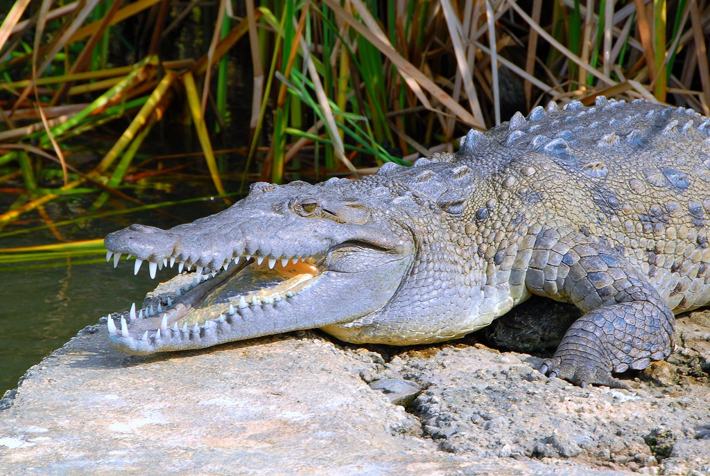 jamaican crocodile -#main