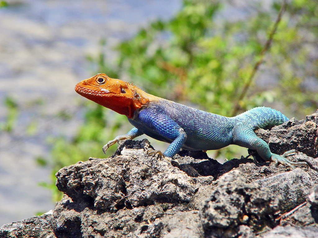 Jaguar >> Red-headed Agama | Red-headed Rock Agama taking some heat on… | Flickr