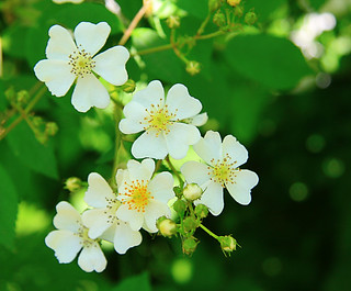 Multiflora rose | by lynnmwillis