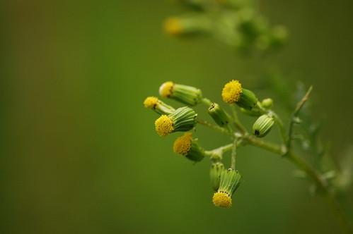 Senecio vulgaris klein kruiskruid klein kruiskruid vind flickr - Ontwikkel een kleine huisinvoer ...
