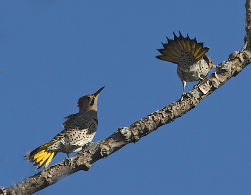 Yellow-Shafted Northern Flicker Mating Dance | by Tut99 (Roger)