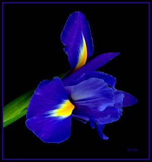 Blue Fusion | by Vanda's Pictures