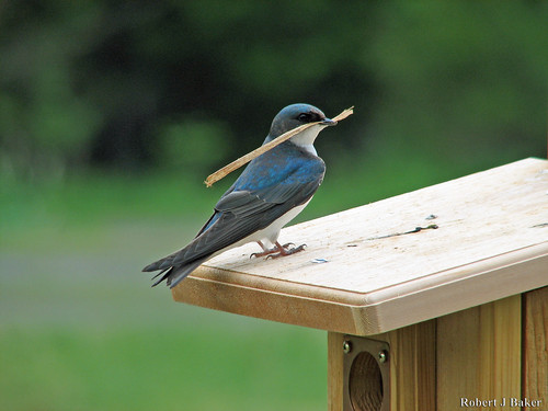 Tree Swallow_20070505_003 | by mrBobBaker
