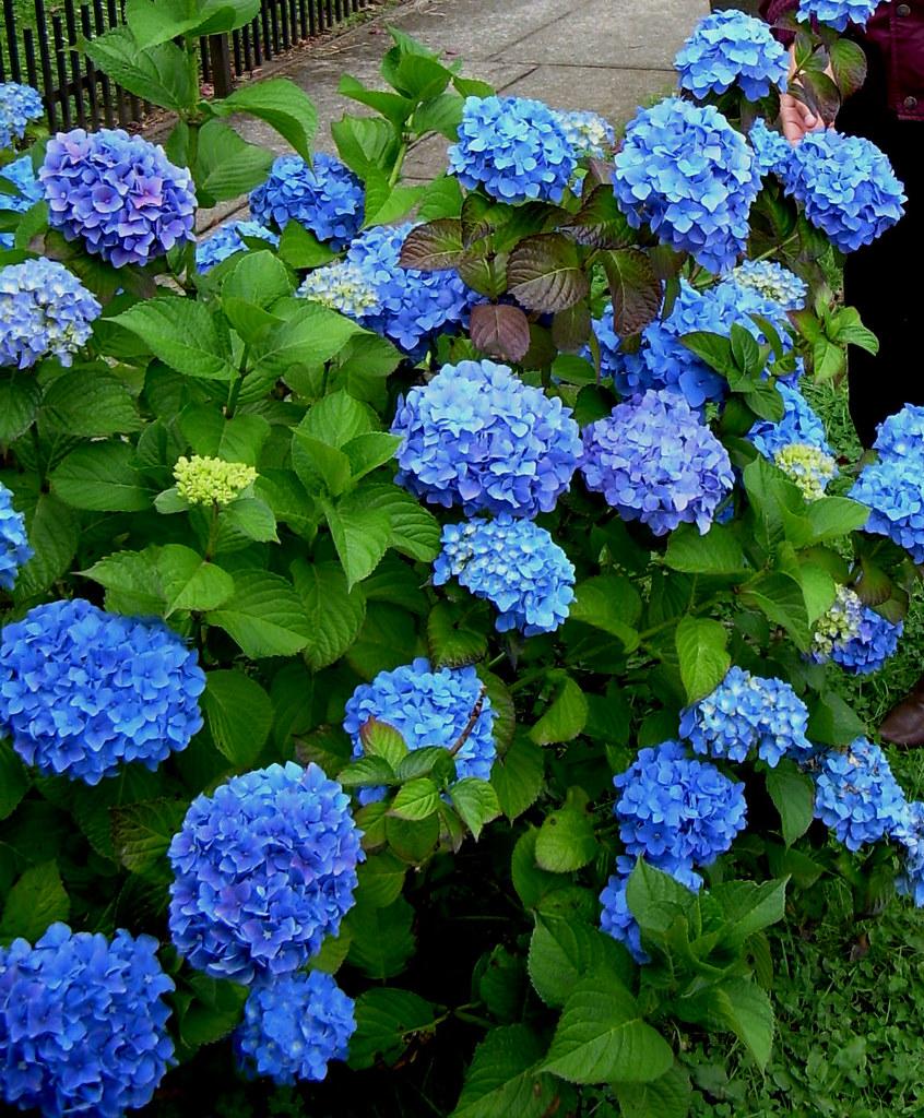 una hortensia azulina la primera vez que vi una hortensia flickr. Black Bedroom Furniture Sets. Home Design Ideas