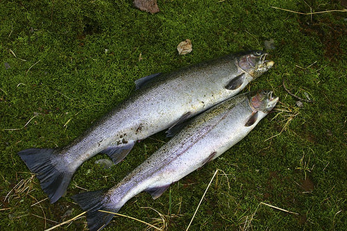 One fish two fish steelhead from the alsea river dan for Alsea river fishing report