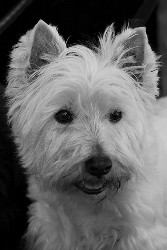 Westie | by laRuth
