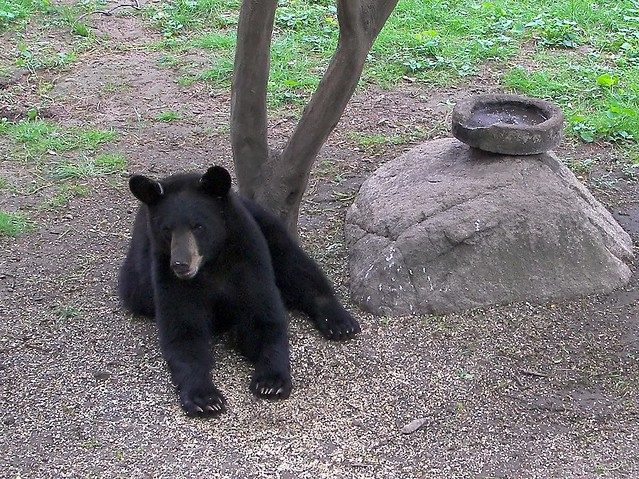 Black Bear   This black bear showed up in the backyard in ...
