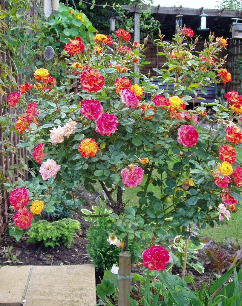 multi coloured rose bush i ve never seen so many