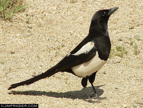 Black-billed Magpie | by Jim Frazier