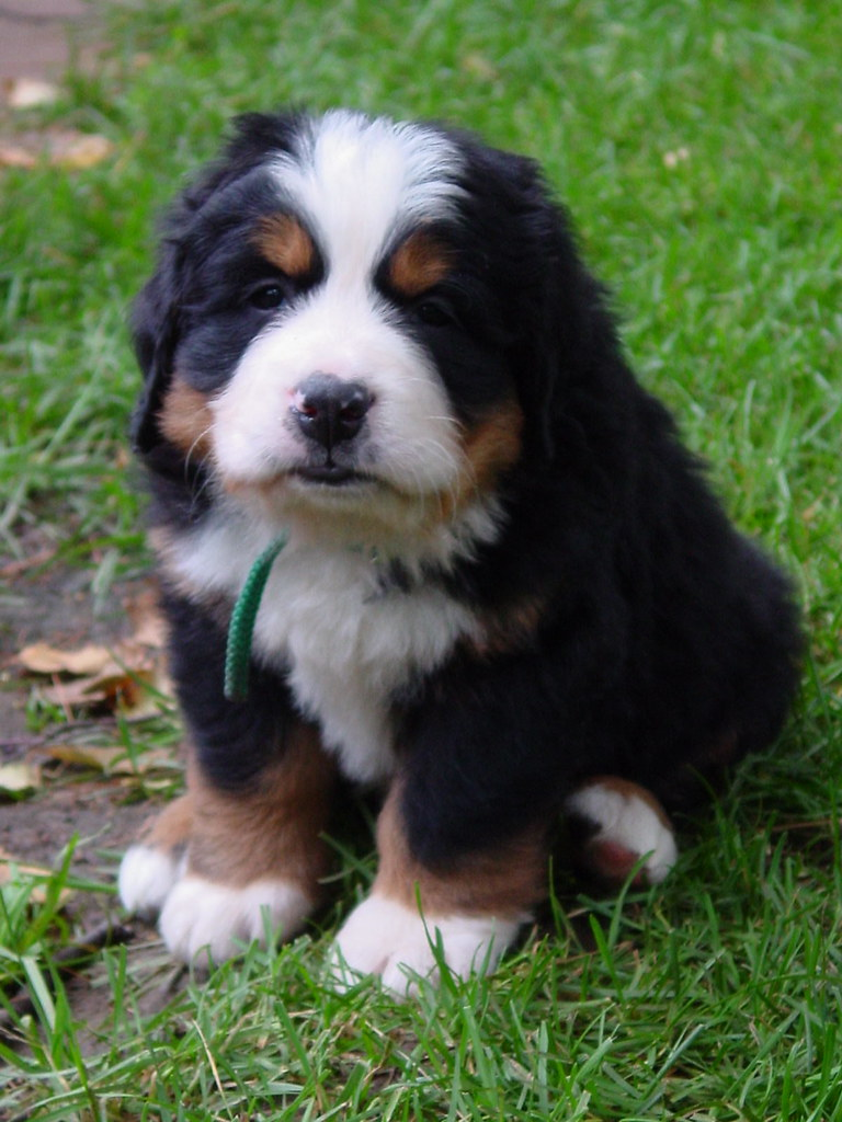 Baby Bernese Mountain Dog For Sale
