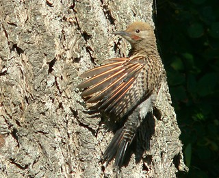 Northern Flicker | by Garnite