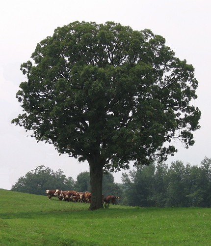 Tree and cow | by gelle.dk