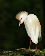 cattle egret - lake martin | by amaw