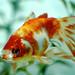 goldfish...posing