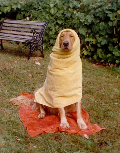 Original Scan of Sparky the Golden Retriever Wrapped in Bath Towels ~ EXPLORED | by Pixel Packing Mama