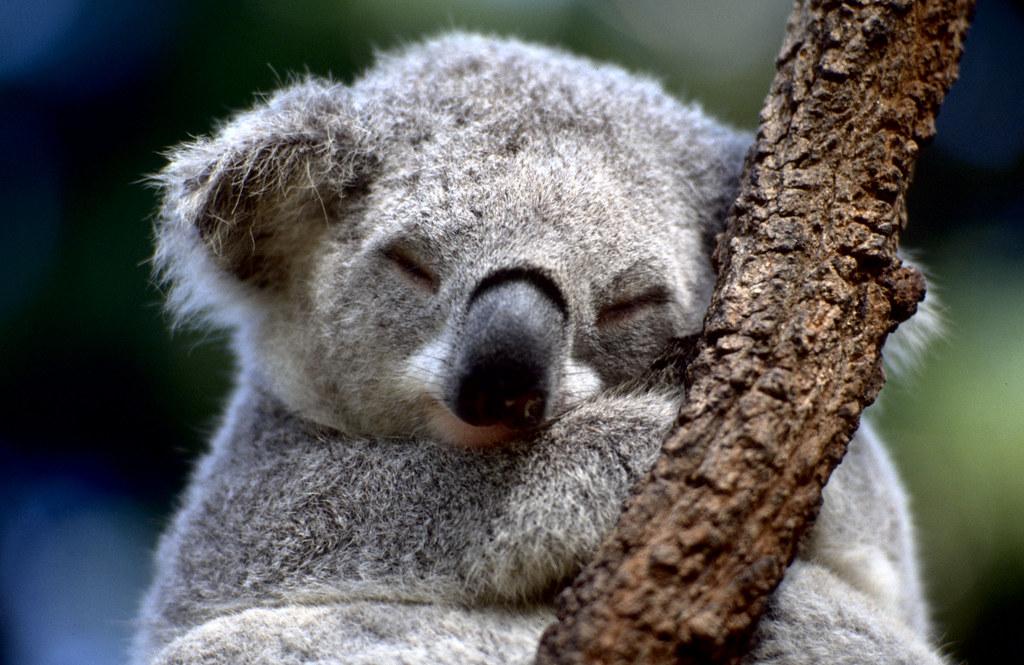 Koala | Koala sleeping...