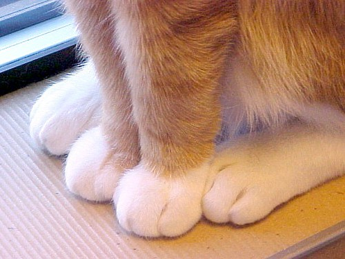 Close Up of Orange & White Cat Paws ~ Reached 20,000+  Views | by Pixel Packing Mama ~ 26½ Million Views
