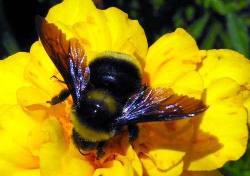 mamangaba na flor foto que fiz no parque tanguá uma fe flickr