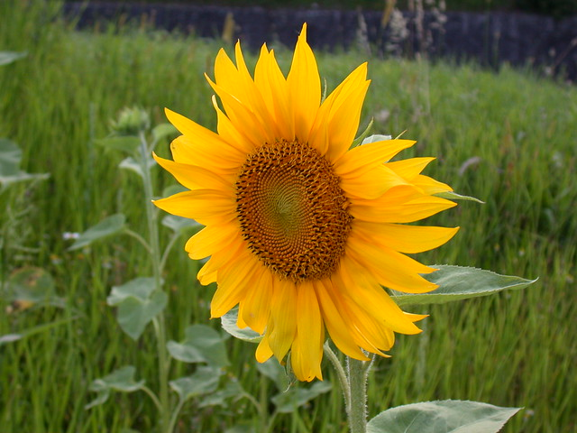 sunflower mature singles The classic-looking heirloom sunflower with pure yellow petals and dark single, large flowers are baker creek heirloom seeds.