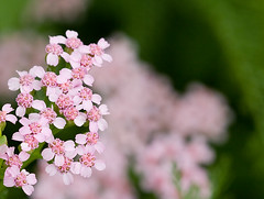Small pink flowers | by flod