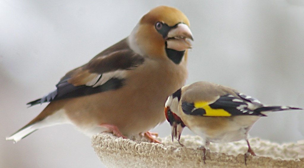 Hawfinch call download