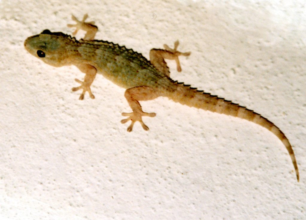 Spanish Geko? | Found this little fella on the wall inside ...