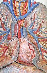 Chest and heart anatomy | by Patrick J. Lynch