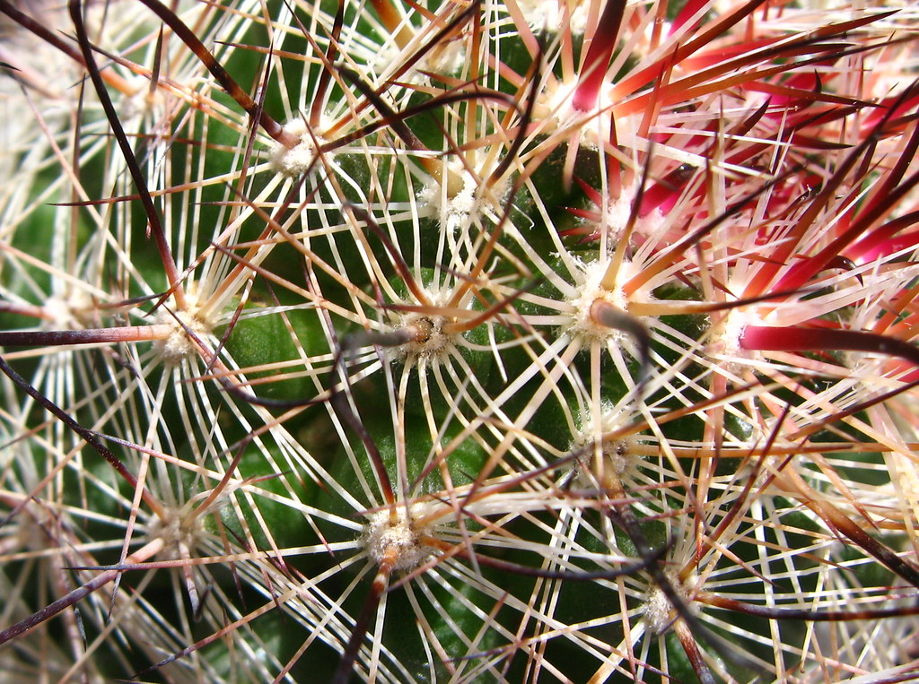 Common fishhook cactus although named common fishhook for Fish hook cactus