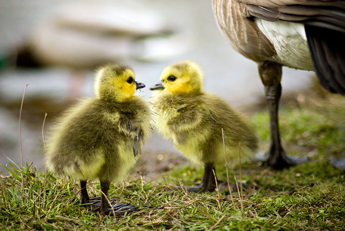 New Goslings | by Mark Klotz
