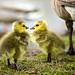 New Goslings