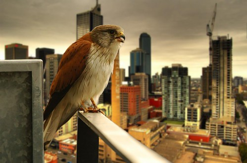 urban raptor | by mugley