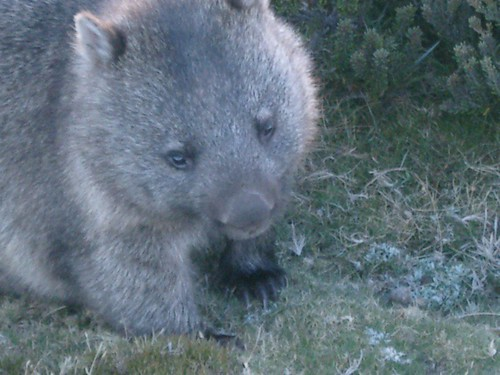Wombat | by Marcos Caceres