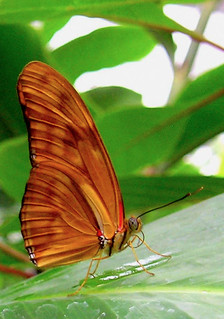 Amber -- Julia Heliconian (Dryas julia) | by Toria Clark