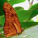 Amber -- Julia Heliconian (Dryas julia)