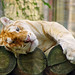 Relaxing golden tiger