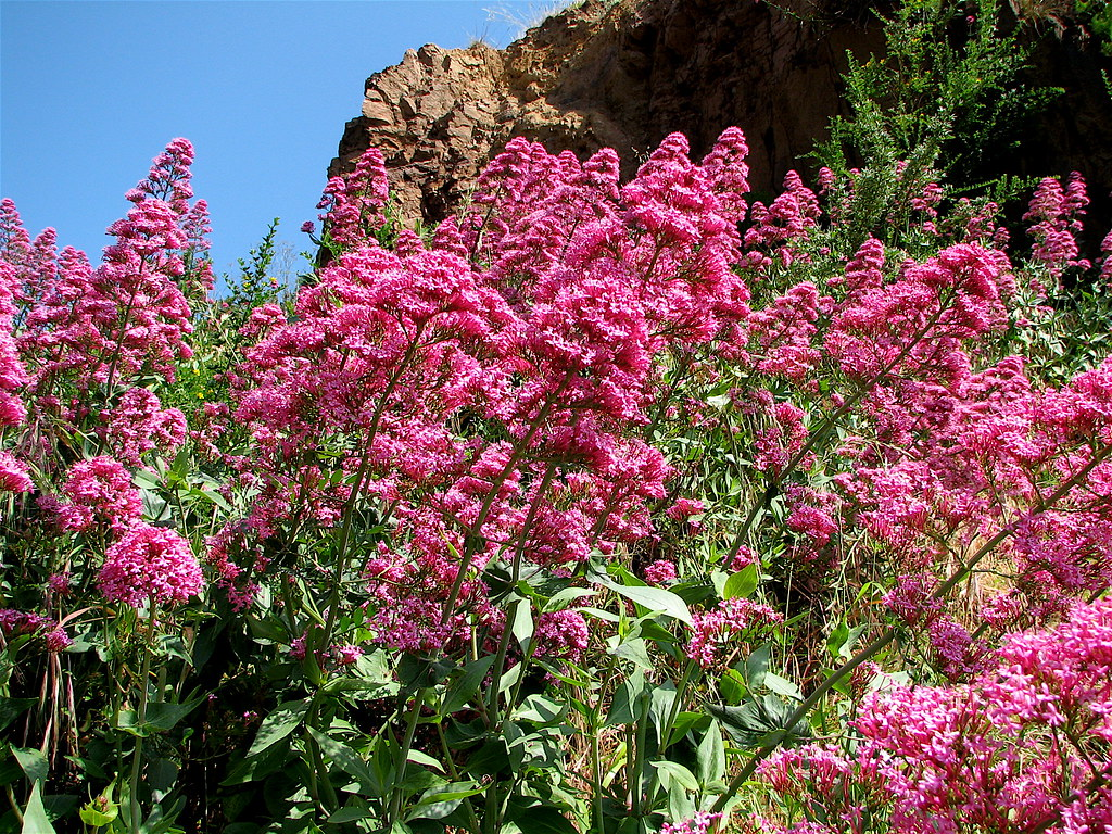 Unknown beautiful pink wildflowers on a hill in san franci flickr unknown beautiful pink wildflowers by praziquantel mightylinksfo